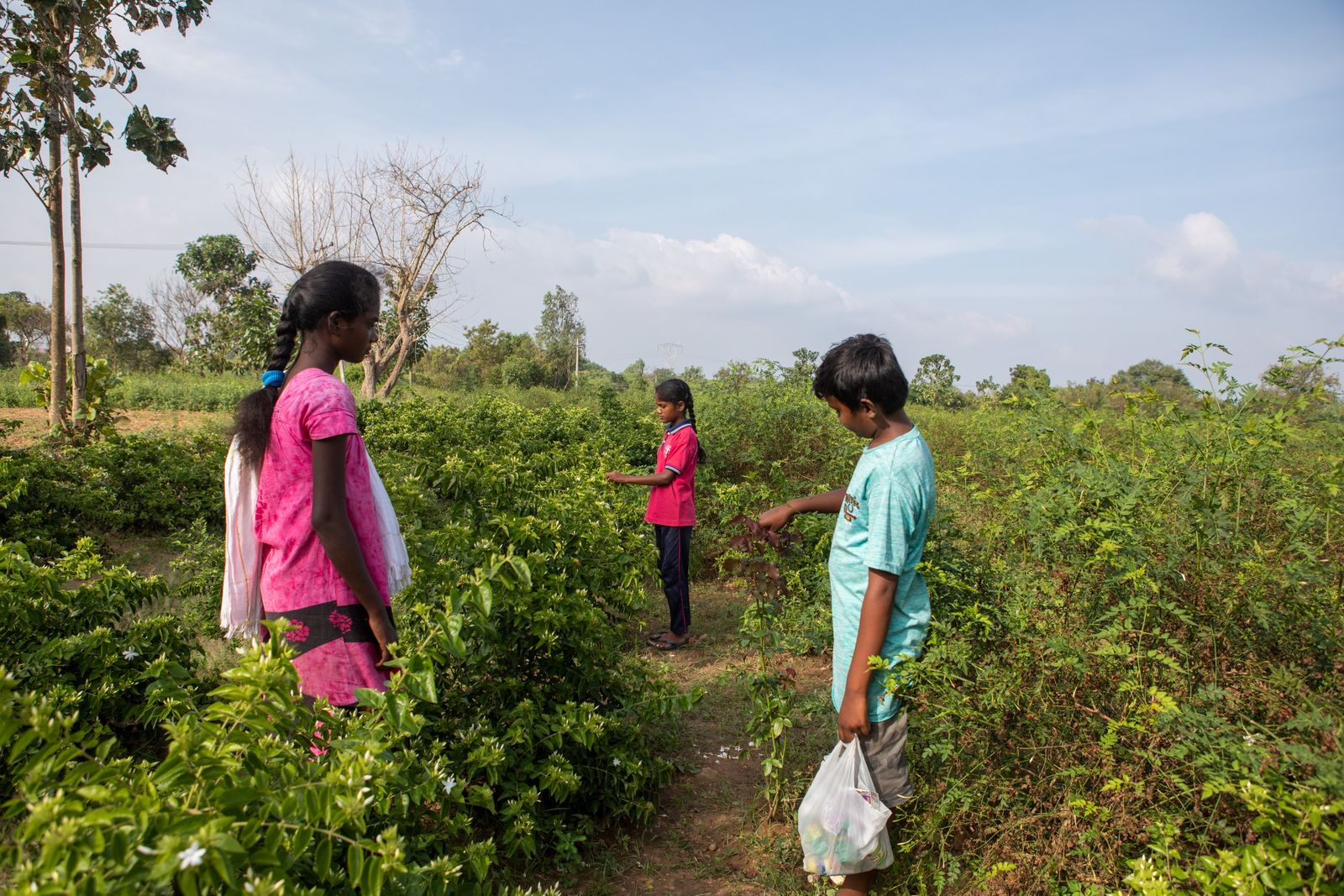 12th Jan 2021, Thalavedu village, Tiruttani Thaluk,Thiruvallur district in Tamil Nadu, India. Mythali 13, Sriram 12 and Sabita 14 pluck Jasmine at the farm. Small farmer families often need the extra pair of hands and mobilise their own children to save on costs. Farmers who apply pesticides do so with little or no protective clothing. They spray toxic chemicals wearing only a traditional wraparound (lungi). This lack of adequate protection extends to children, who aside from plucking flowers, sometimes mix pesticides with their bare hands. Some of the symtoms expericenced by the children and their parents due to the pesticides were dizziness, headache, skin rashes, fatigue, and breathing problems. Photographer: Samyukta Lakshmi.