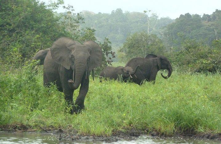 Kleine Gruppe Waldelefanten