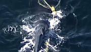 Jungtier trieb hunderte Kilometer im Meer