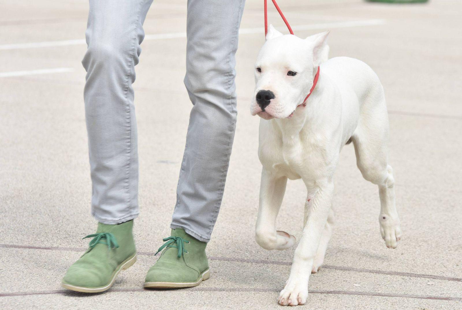 EINMALIGE VERWENDUNG Dogo argentino