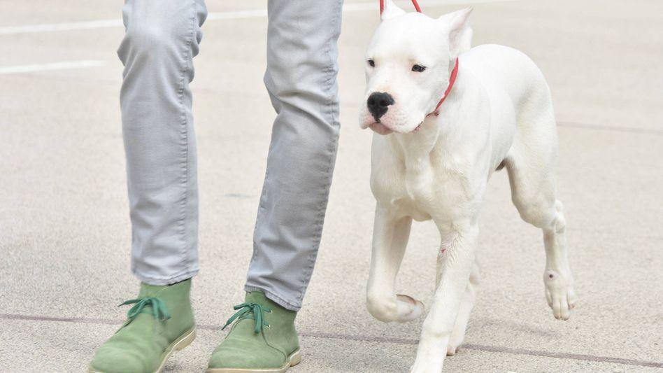 Junge argentinische Dogge mit Besitzer (Archivbild)