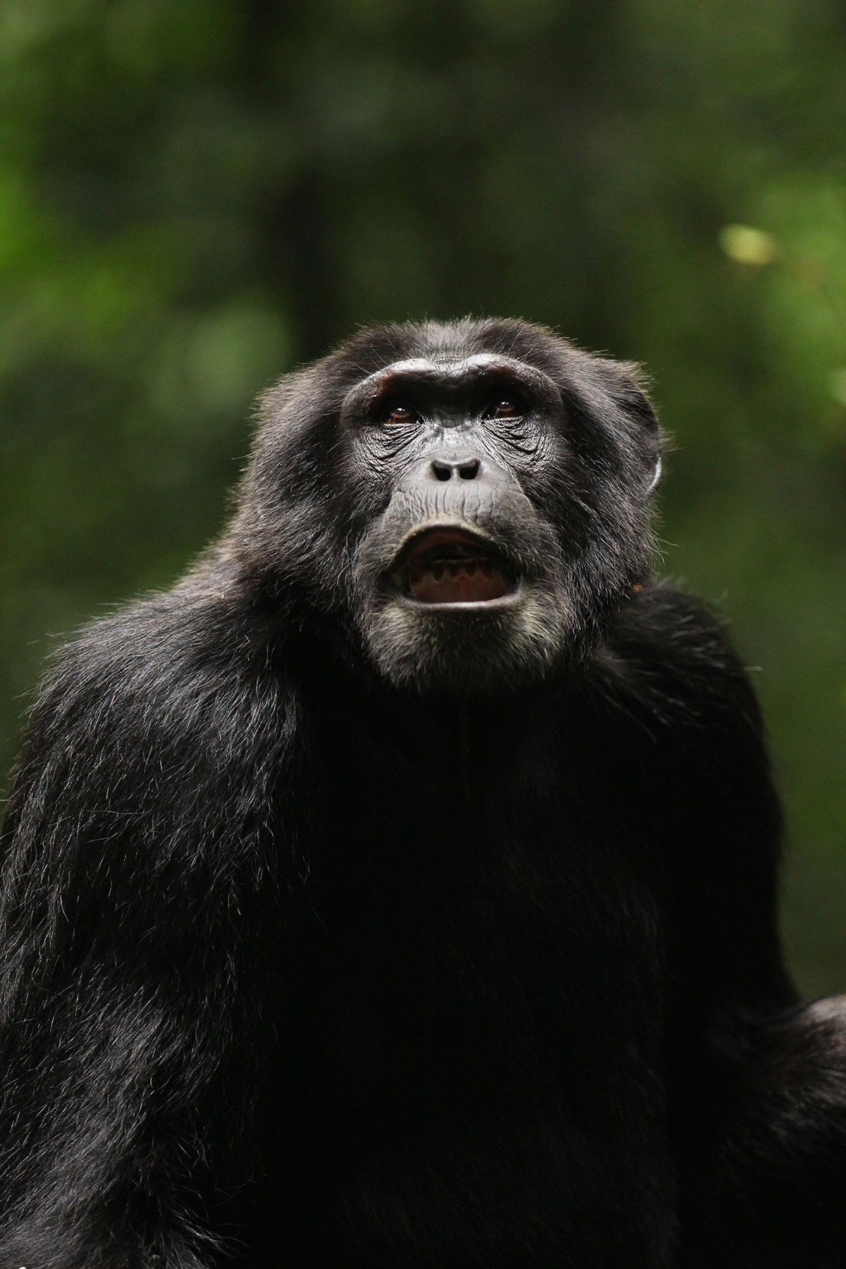EINMALIGE VERWENDUNG Schimpanse