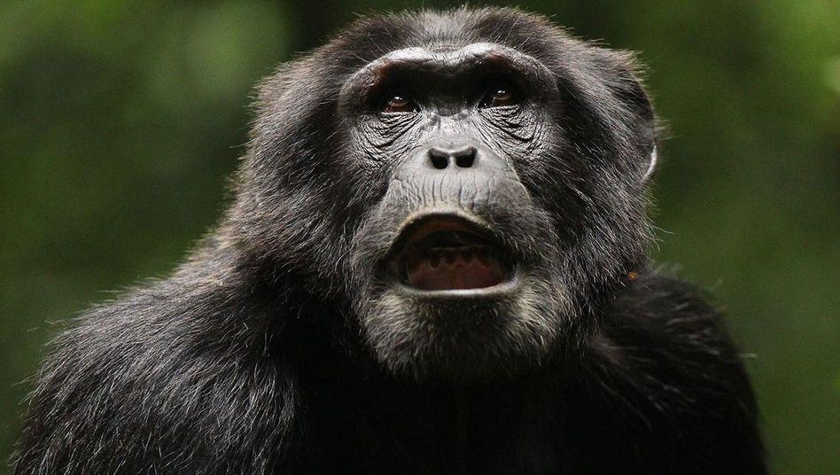 Schimpanse im Kibale National Park in Uganda