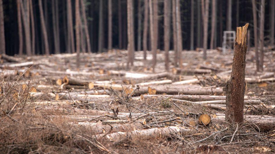 Abgestorbene Nadelbäume im Sauerland