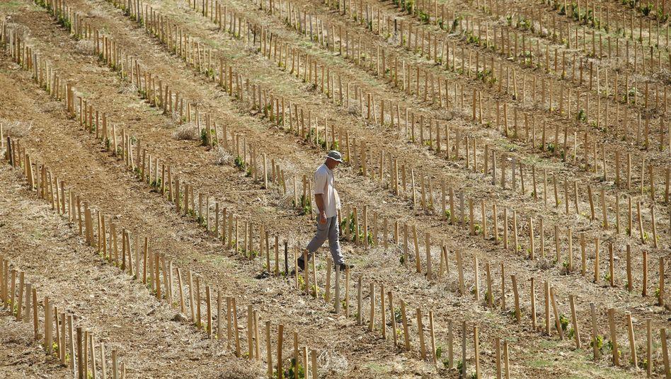 Neu angelegter Weinberg in Aumelas in Frankreich