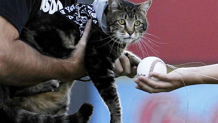 "Kalifornische Katze: ""Hero Cat"" im Baseballstadion"