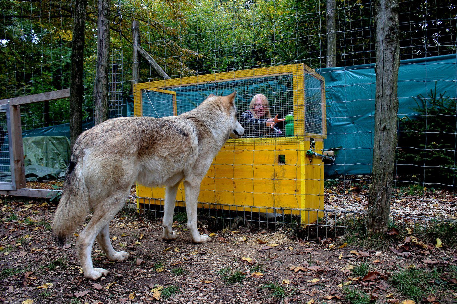 EINMALIGE VERWENDUNG Studie/ Domestikation/ Hund/ Wolf