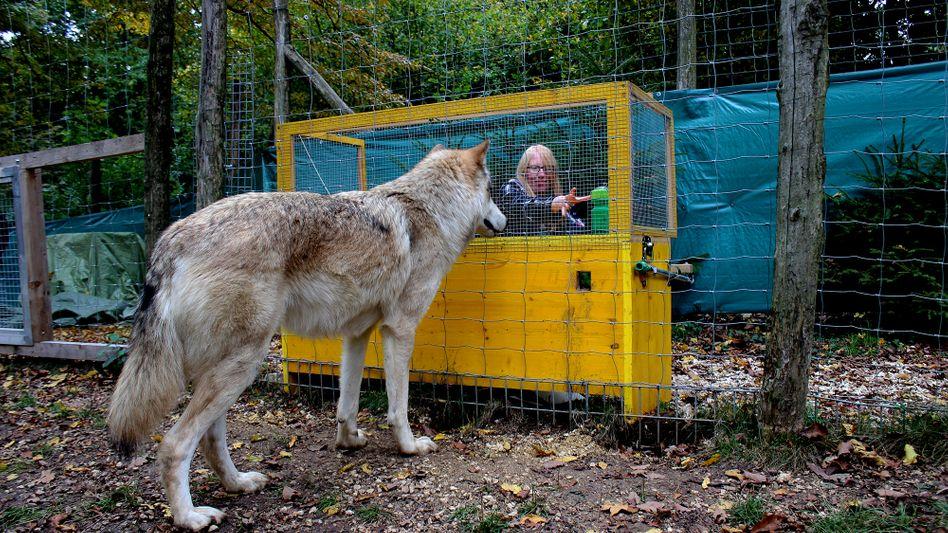 Experiment am Wolf Science Center in Österreich