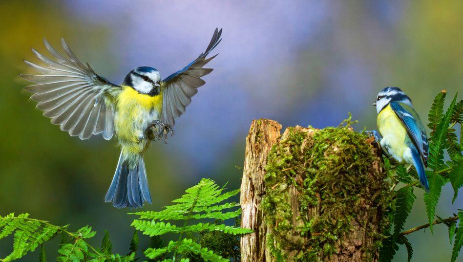 """Besonders bedrohte Blaumeisen: """"Social Distancing hilft auch bei Vogelseuchen, Ansteckungen zu reduzieren"""""""
