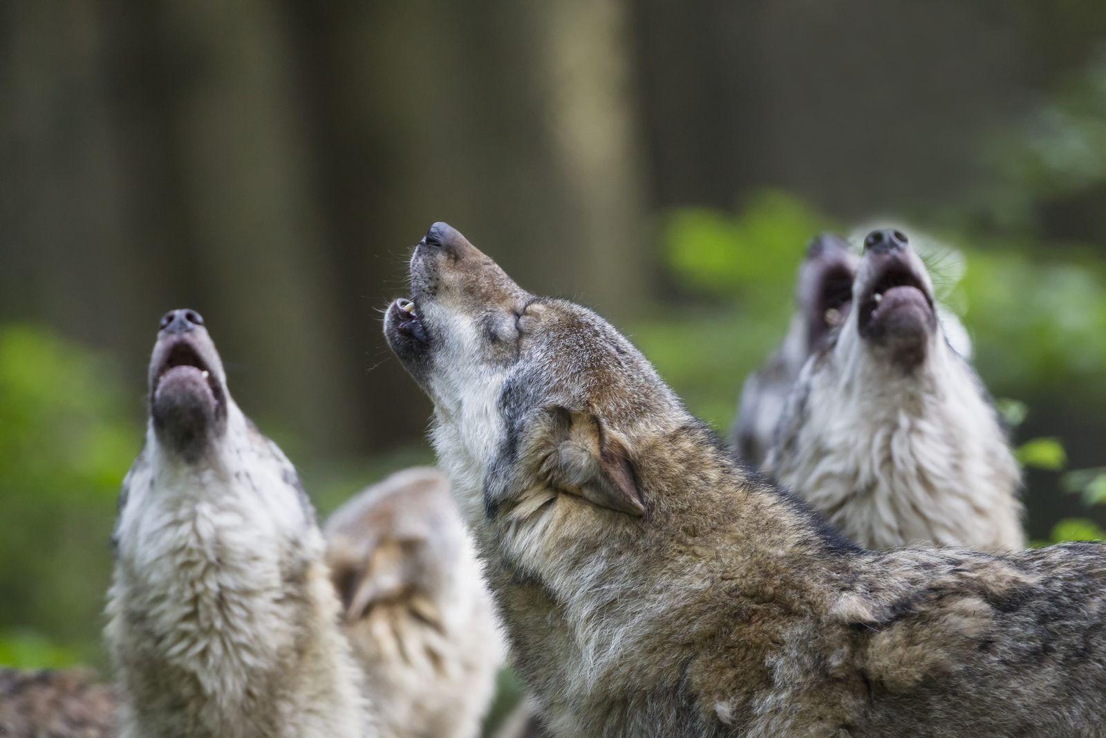 EINMALIGE VERWENDUNG Wolf
