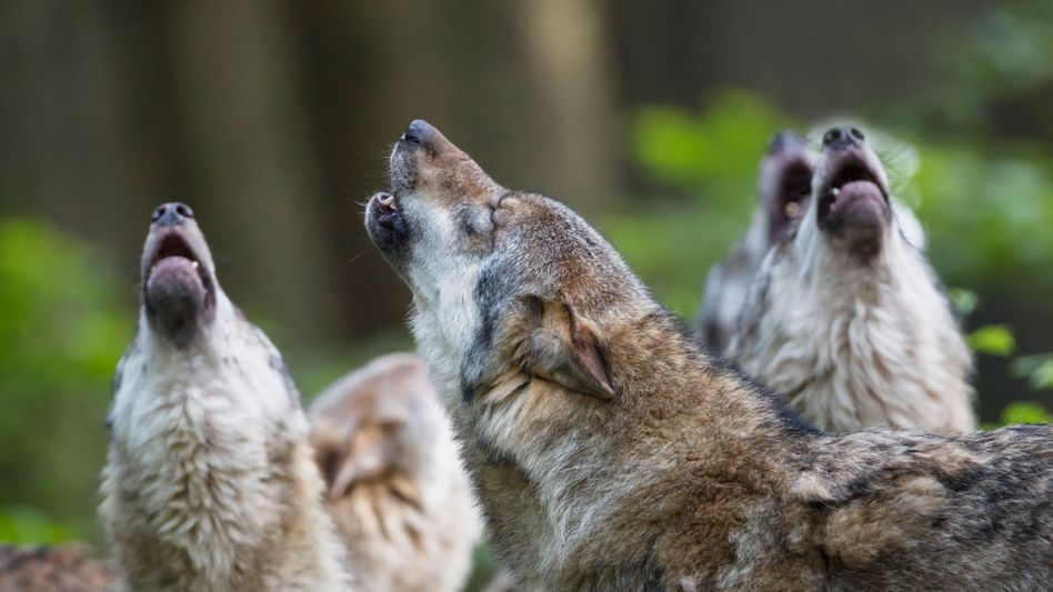 Wölfe werden als Bedrohung, aber auch als Bereicherung wahrgenommen.