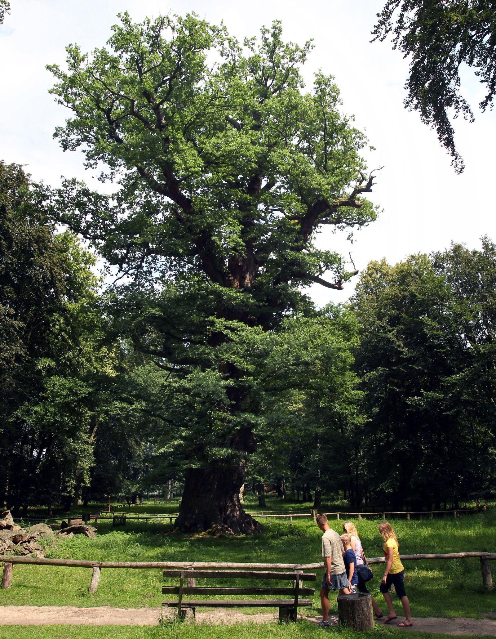 Älteste lebende Eichen Deutschlands