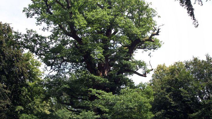 Die ältesten Bäume Deutschlands