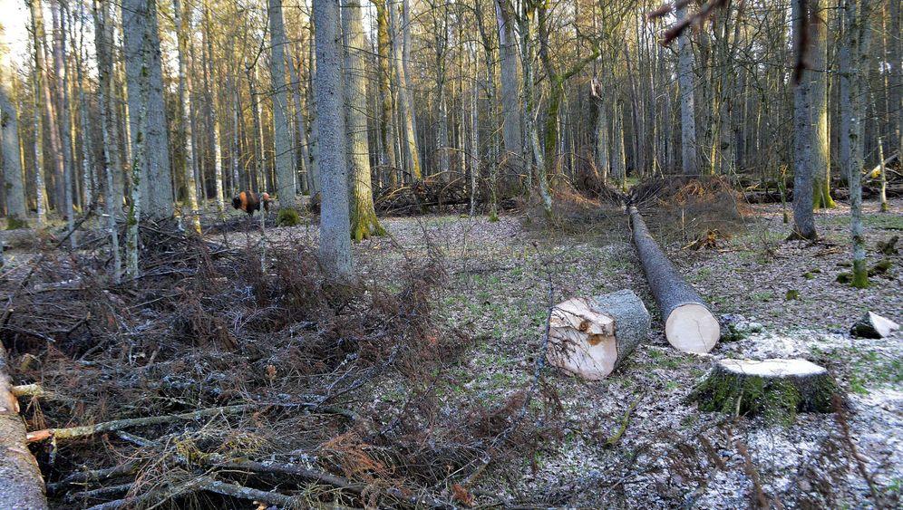 Bialowieza-Urwald: Naturparadies in Gefahr