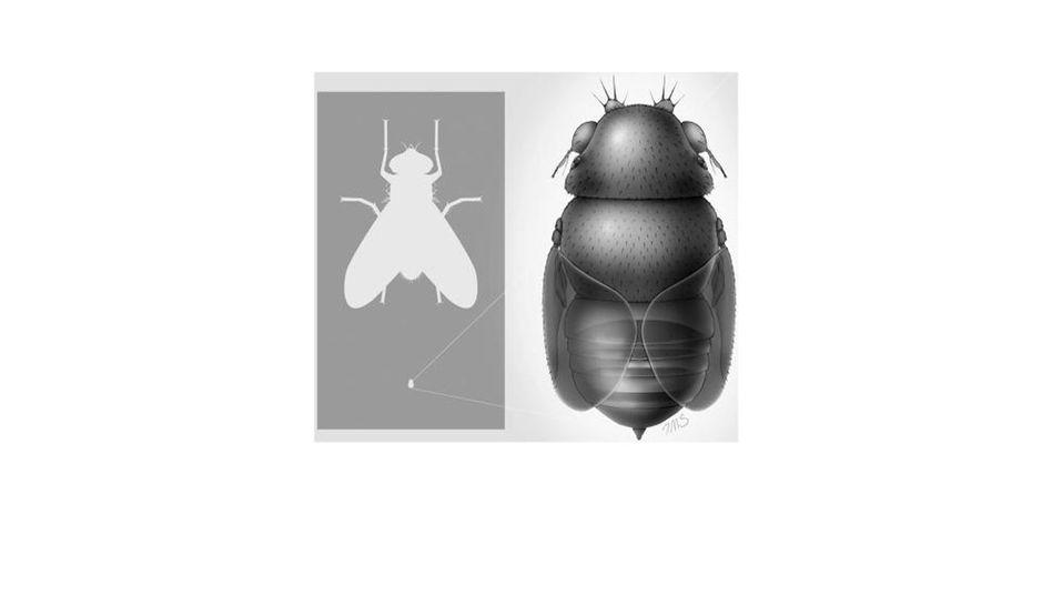 Deutlicher Größenunterschied: Euryplatea nanaknihali im Vergleich zur Stubenfliege (l.)