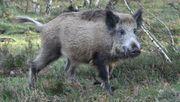 Weitere Wildschweine in Brandenburg positiv auf Schweinepest getestet