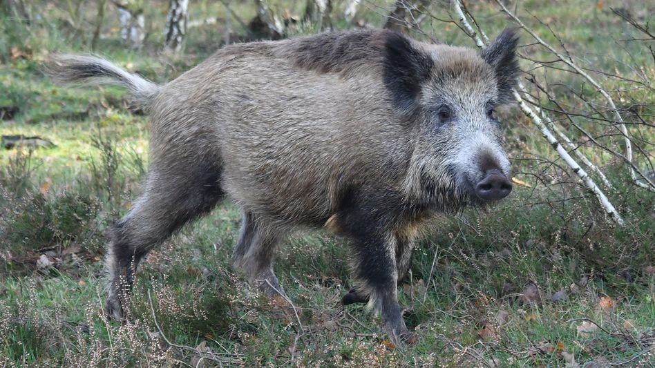 Wildschwein: Für Menschen ist die Krankheit ungefährlich