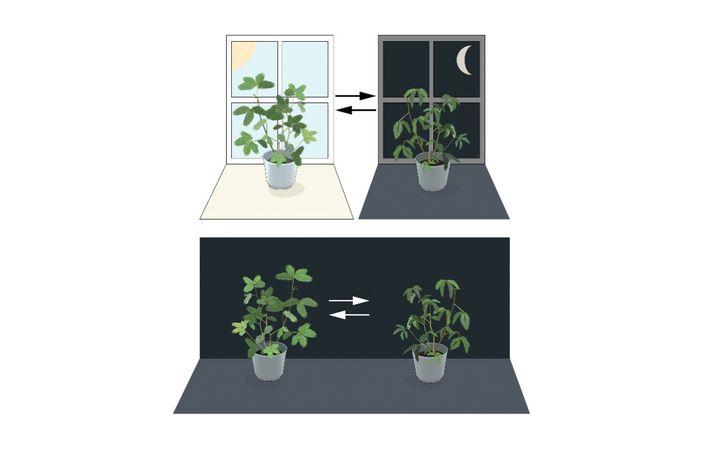 Die Mimose bei Tag und bei Nacht (oben). Auch in Räumen, die 24 Stunden lang dunkel sind, öffnet und schließt sie ihre Blätter.