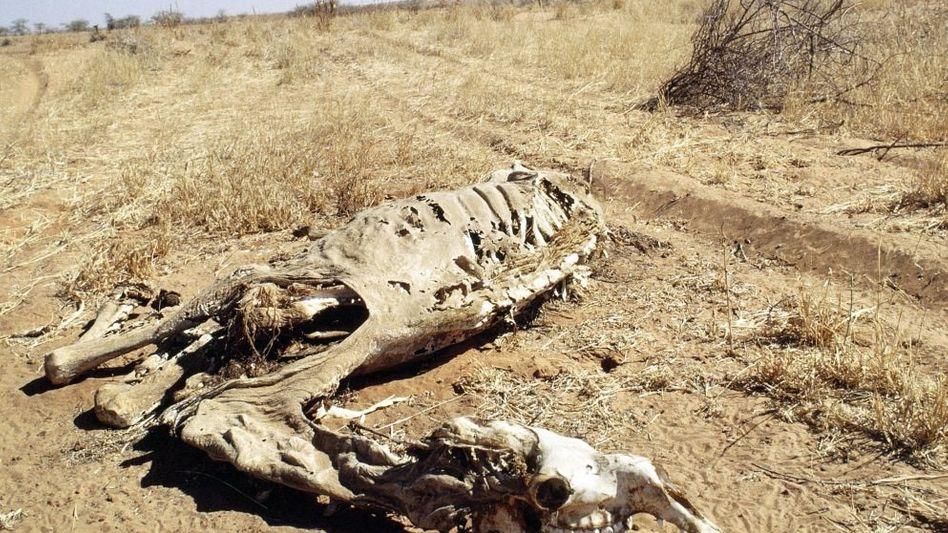 Kamelskelett im Sudan