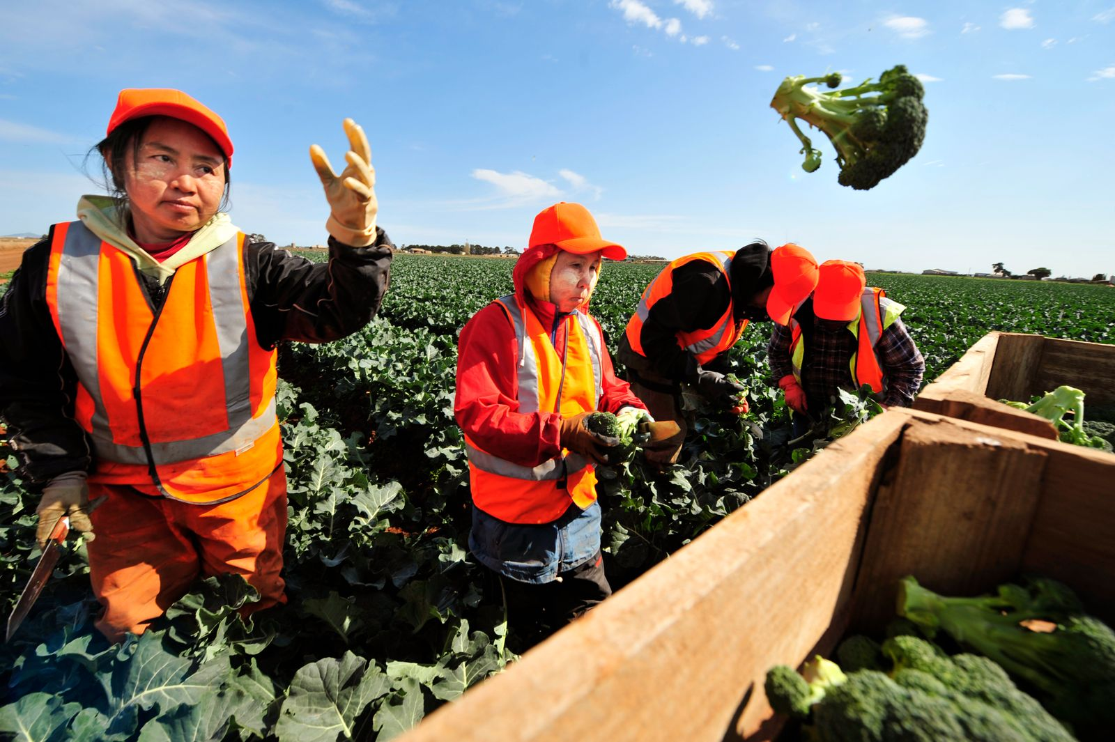 "Broccoli cutters in Werribee on the new ""super Broccoli"" crop, 16 Septemeber 2009."