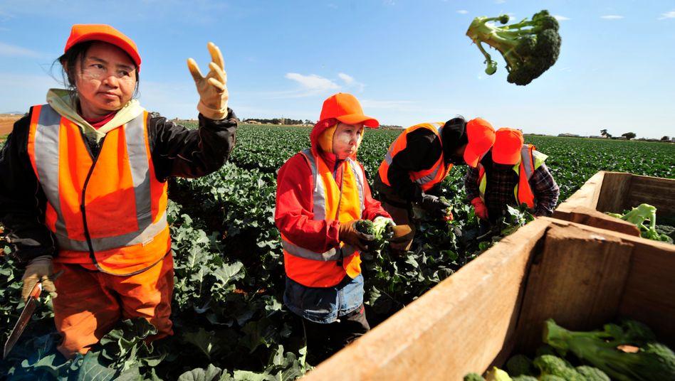 Brokkoli-Ernte in Werribee, Australien