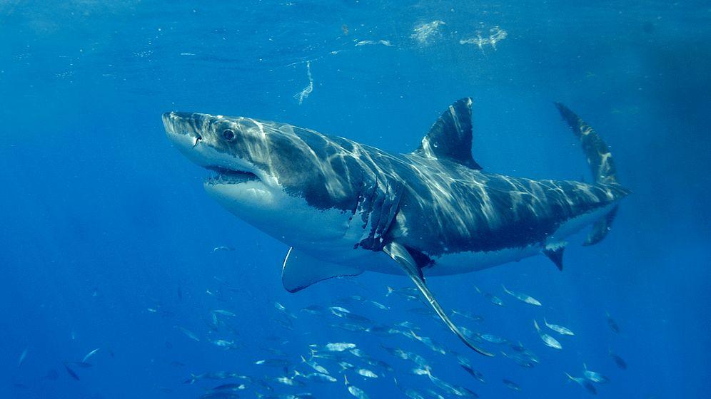 Weißer Hai: 2000 Exemplare vor Kalifornien