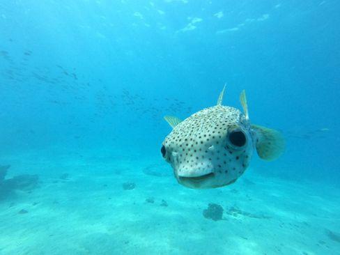 Unter Wasser gibt es in Französisch-Polynesien auch einiges zu entdecken – wie zum Beispiel diesen Kugelfisch