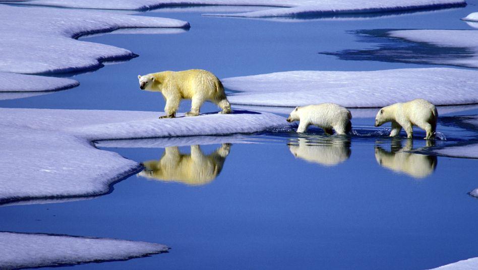 Arktiseis: Eisbärenmutter mit ihren Jungen