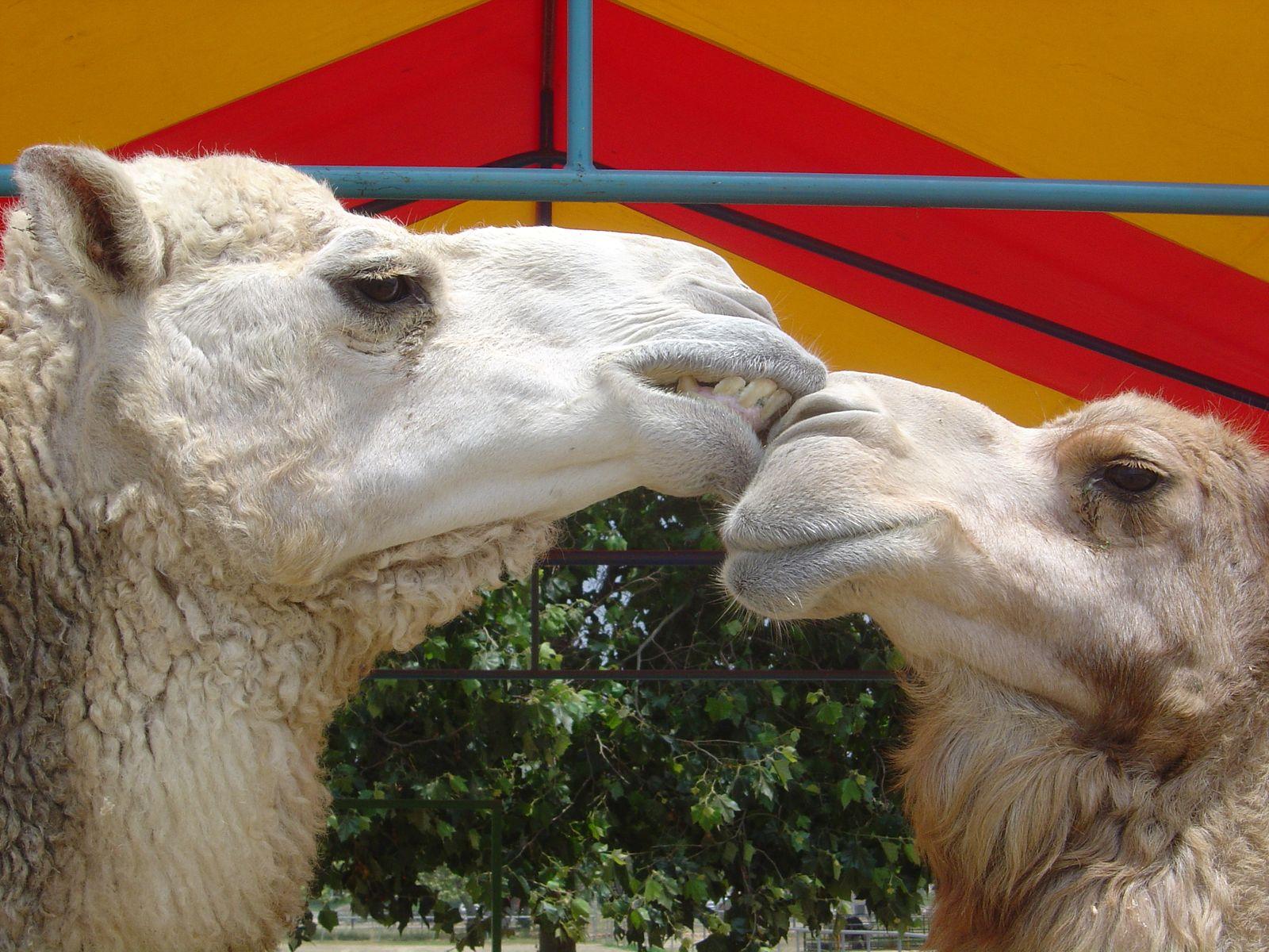 Camel controversy
