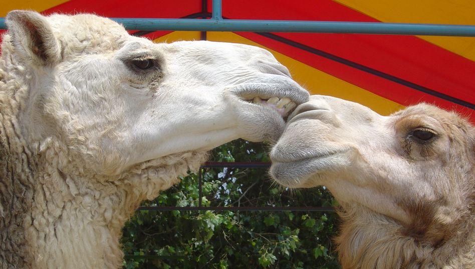 Kamele (Symbolbild)