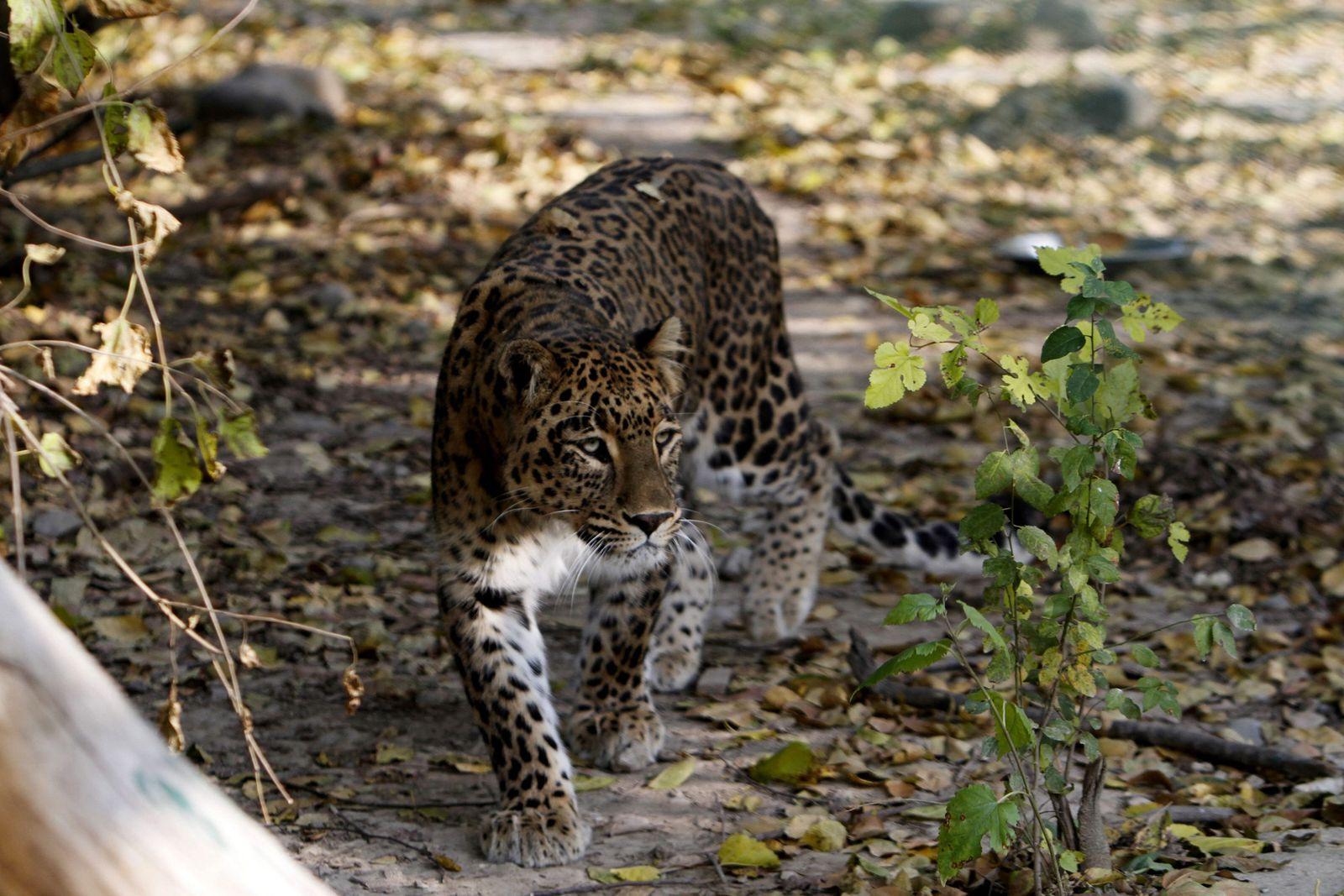 Leopard / Indien