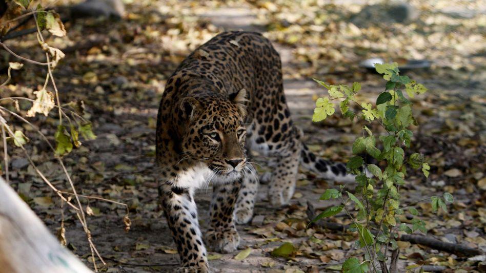 Zu Hause im Dachigam-Nationalpark: Ein indischer Leopard