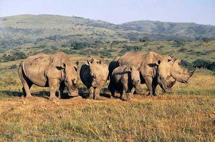 Rhino on tour: Nashörner findet in Hluhluwe-Umfolozi jeder
