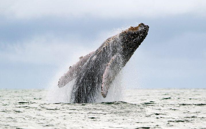 Ihre Klicklaute verraten sie: Die Analyse von Geräuschen identifiziert, wie viele Wale und andere Meeressäuger sich an bestimmten Orten unter Wasser tummeln