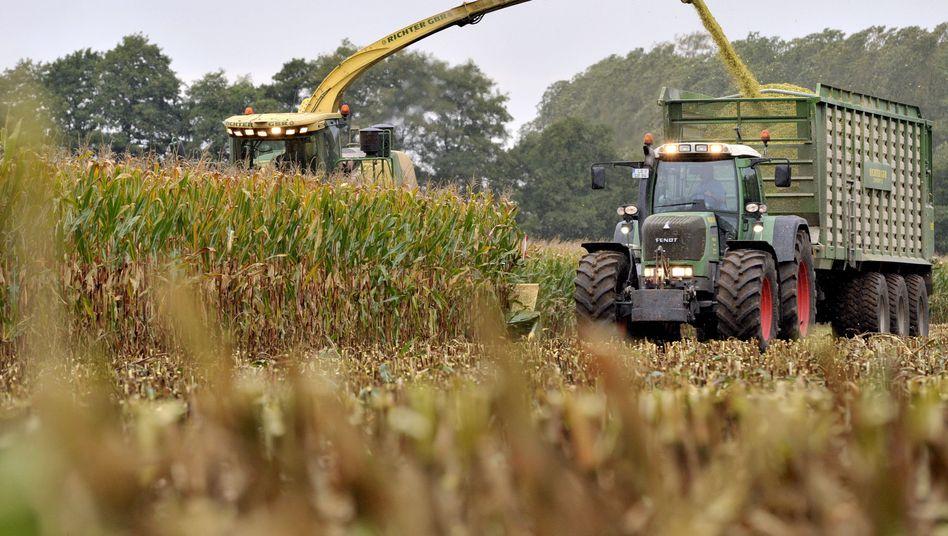 Maisernte in Niedersachsen: Kommt die Genmais-Sorte TC1507 auf die Felder?