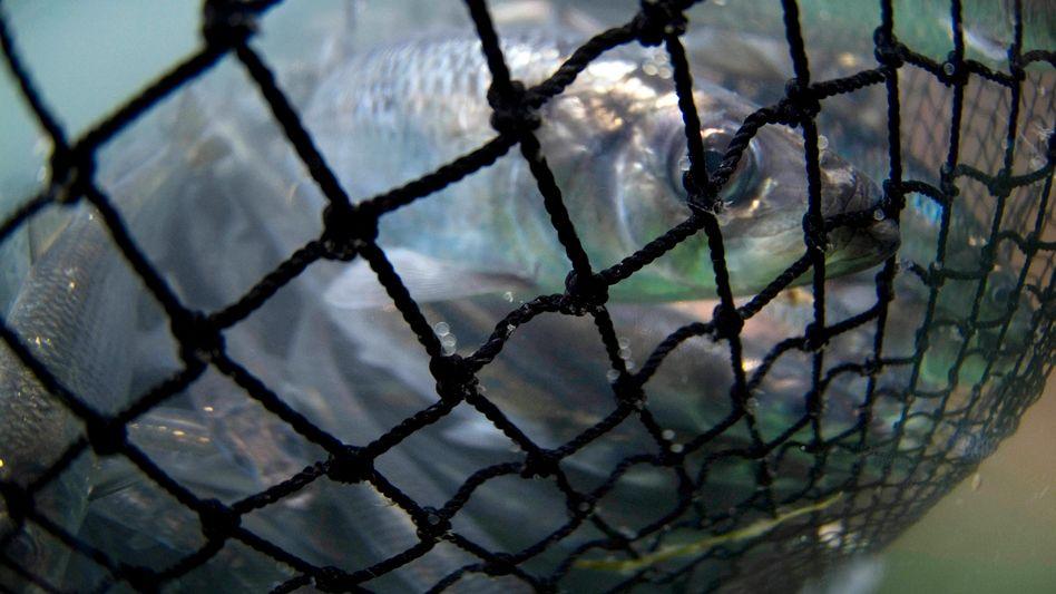 """Gefangene Heringe: """"Kaum das Netz ausgeworfen, da schwimmen sie schon drin"""""""