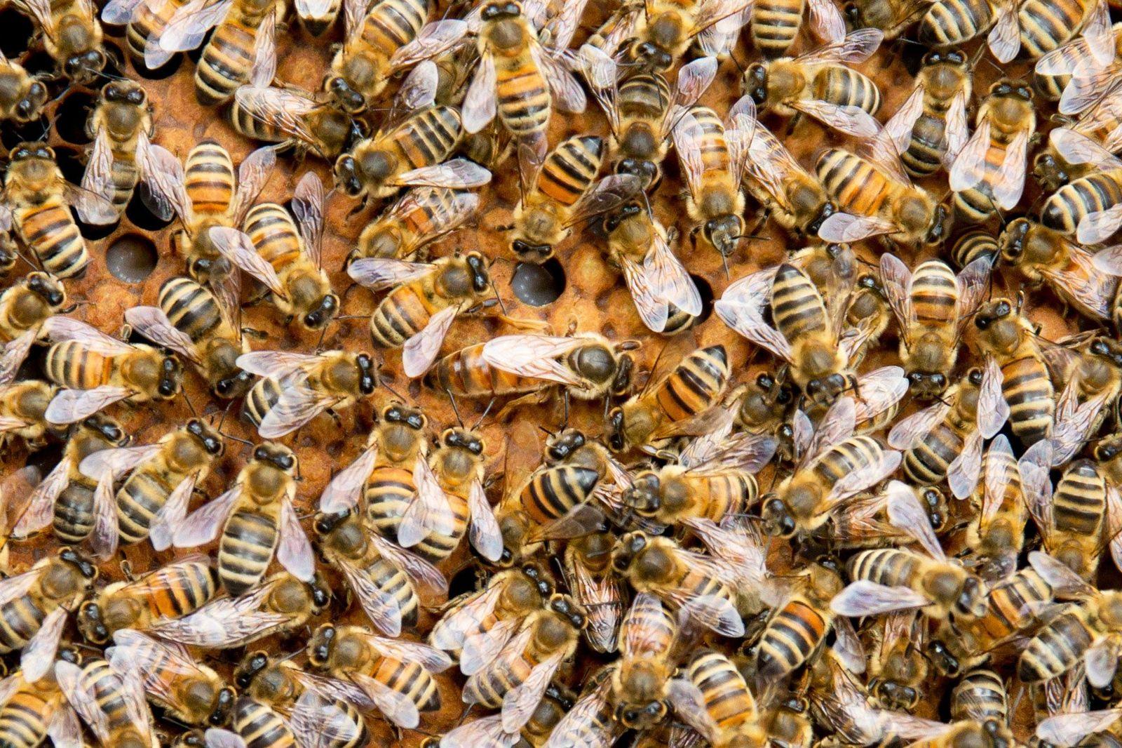 Bienenvolk / Bienen / Königin