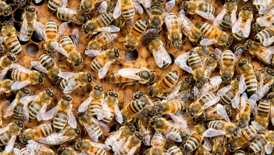 Bienenvolk (Symbolbild): gute Typen, reine Herzen