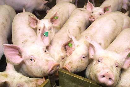 Schweinemast: Vollgepumpt mit Pharmakas?