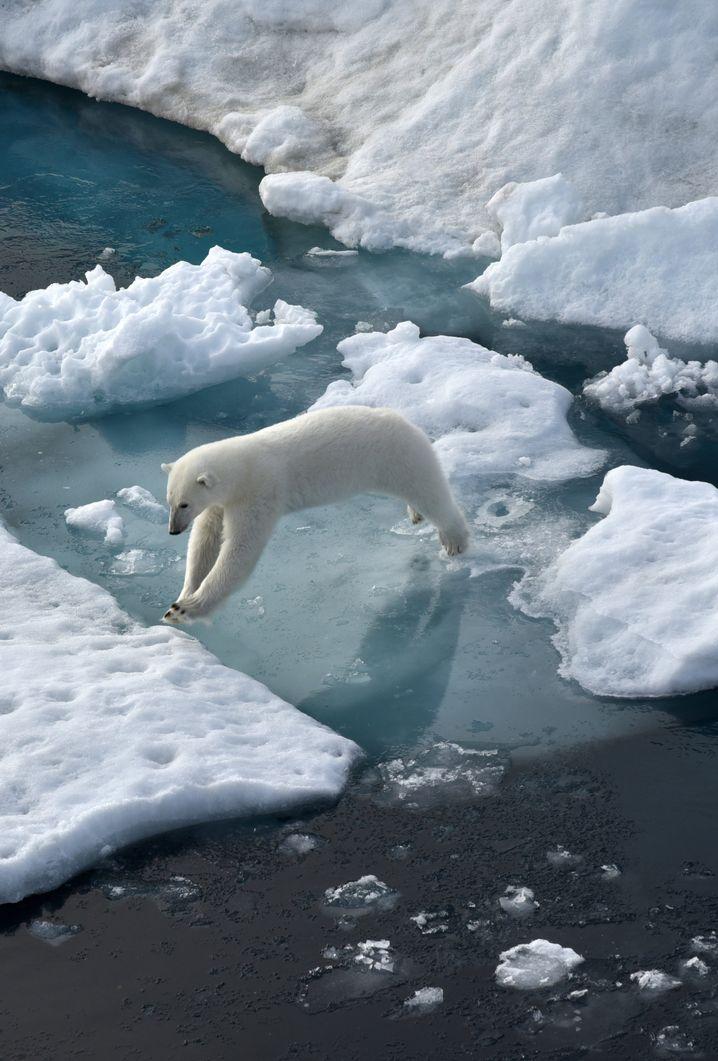 Neugierige Eisbärin: Das Tier nähert sich dem Eisbrecher