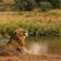 Südafrika erlaubt Export von Löwenskeletten