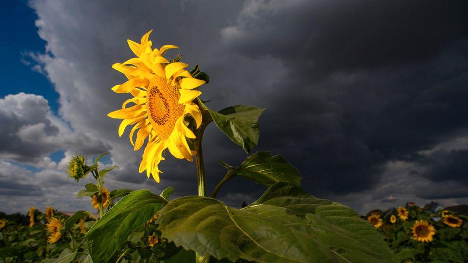 Lasst Blumen sprechen: Dunkle Regenwolken ziehen über einem Sonnenblumenfeld in Sachsen-Anhalt auf