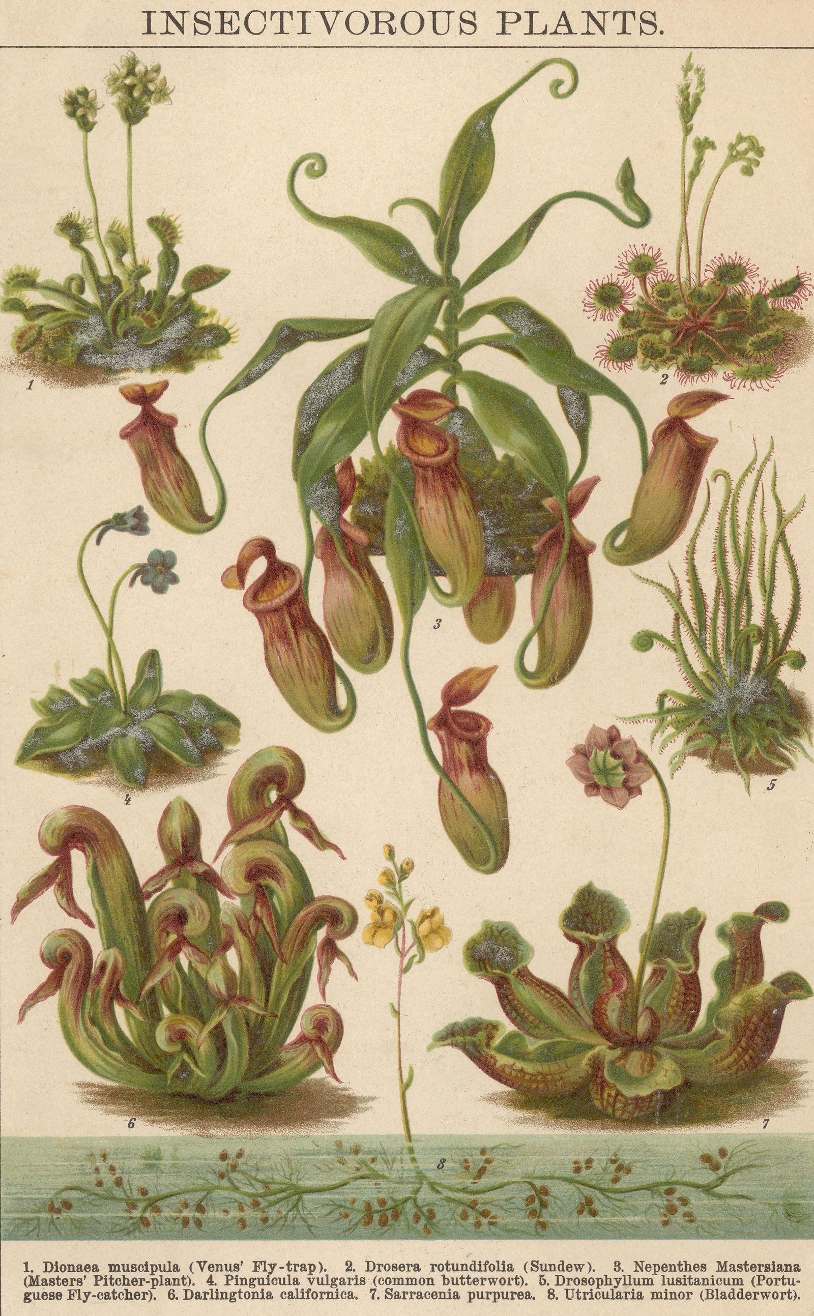 Utricularia / Fleischfressende Pflanze
