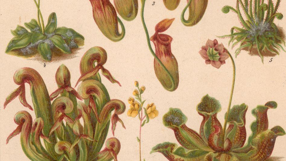 Kleiner Wasserschlauch (Illustration, Mitte): Wasserpflanze fängt Tierchen