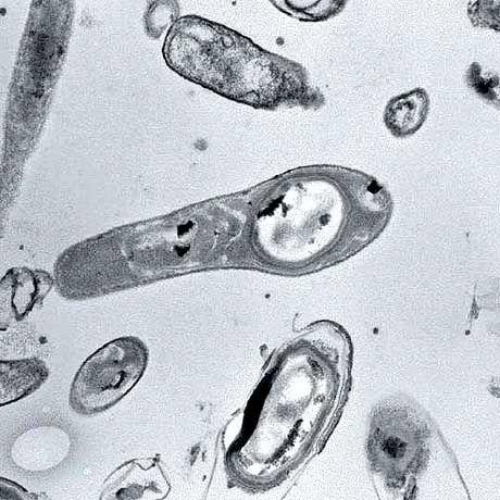 """Es lebt: """"Bacillus permians"""" verbrachte die letzten 250 Millionen Jahre in einem Zustand mit extrem vermindertem Stoffwechsel"""