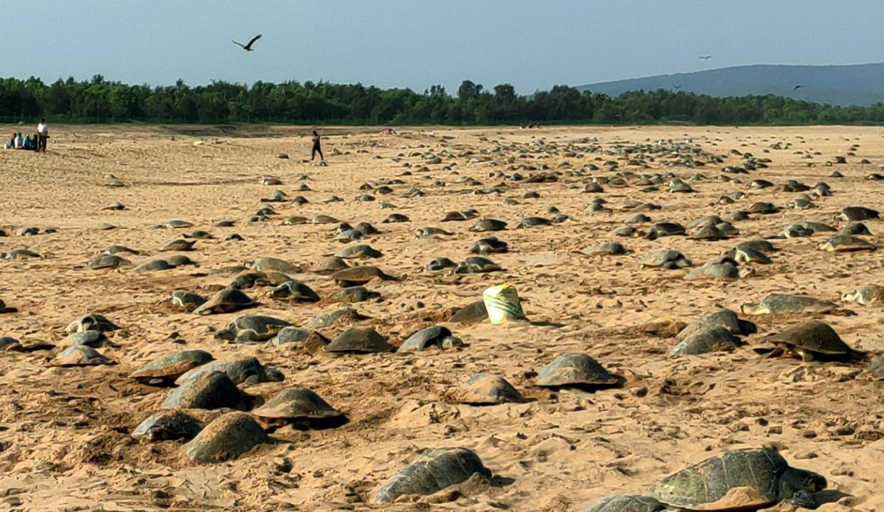 India Olive Ridley Turtles
