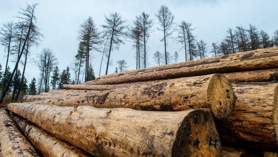 Baumstämme aus Sachsen-Anhalt (Archivbild): Holz wird 38 Prozent teurer
