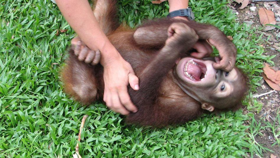 3-jähriger Orang Utan wird gekitzelt: Auch Affen können lachen.