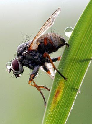Fliege am Grashalm: Intelligenz nicht von Vorteil für Lebensdauer