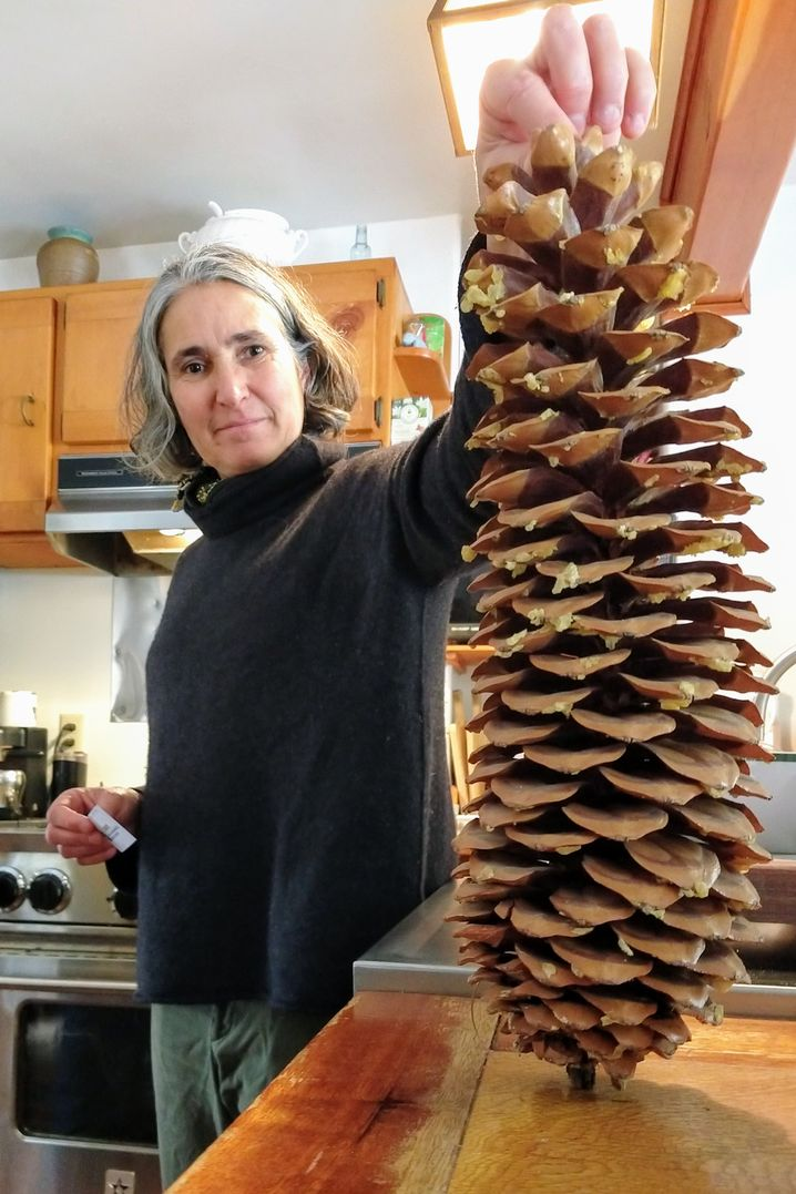 Patricia Maloney: The pine cones produced by the sugar pine can be impressively large.
